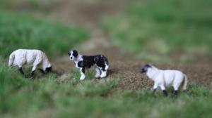 VPS Border Collie en schapen HO